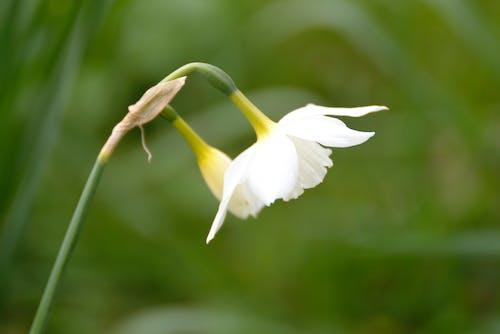 Darmowe zdjęcie z galerii z botanique, flesze blanki, fleurs, flore