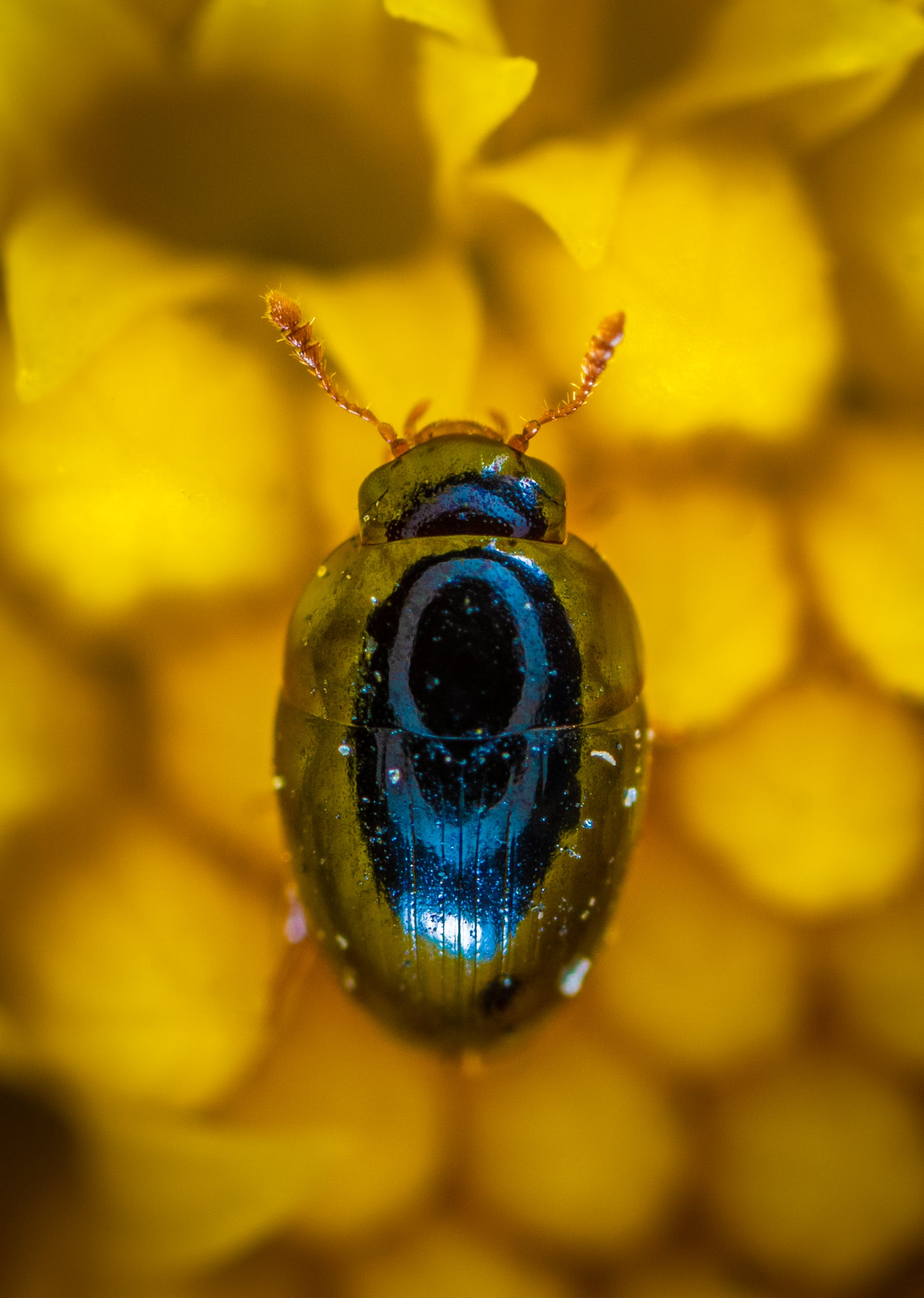 Close-up Photography of Blue Beetle
