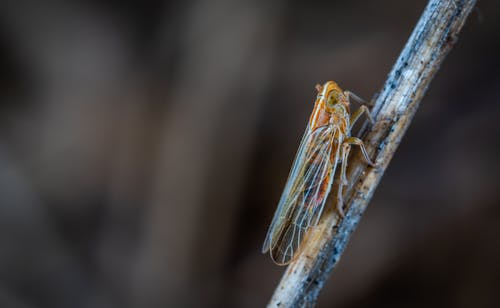 Closeup Photo of Brown and Gray Cicada on Twig