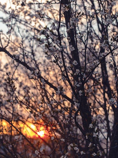 Fotobanka sbezplatnými fotkami na tému čerešňový kvet, flóra, idylický, jemný