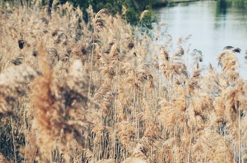 Imagine de stoc gratuită din apă, iarbă, stuf