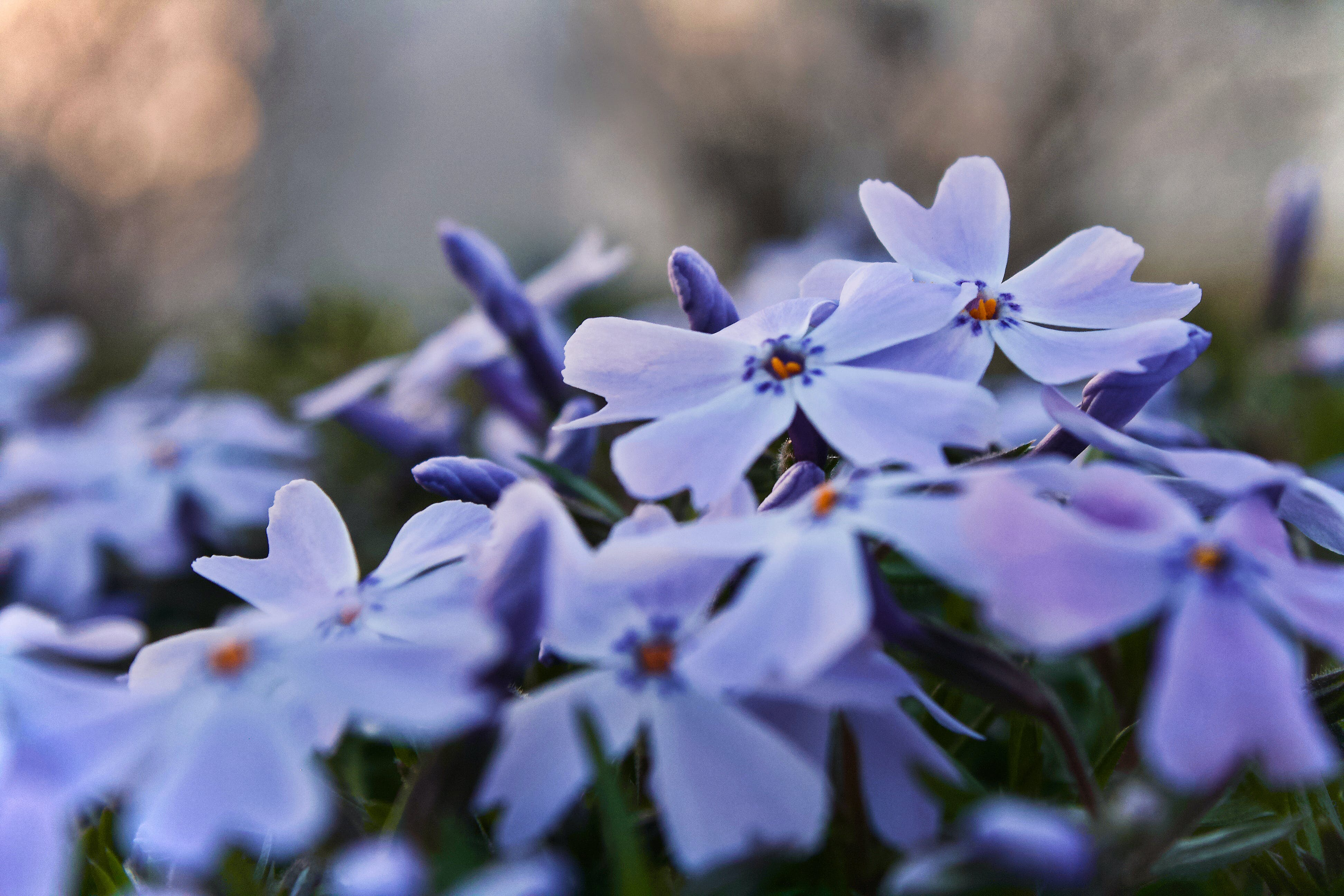 Purple Phlox Flowers