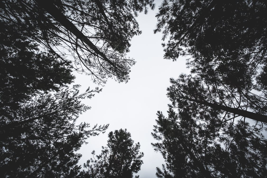 Worm's Eye Photography Of Tall Trees
