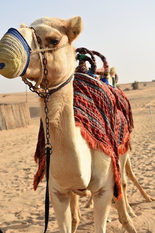 Kostnadsfri bild av Arabisk kamel, safari