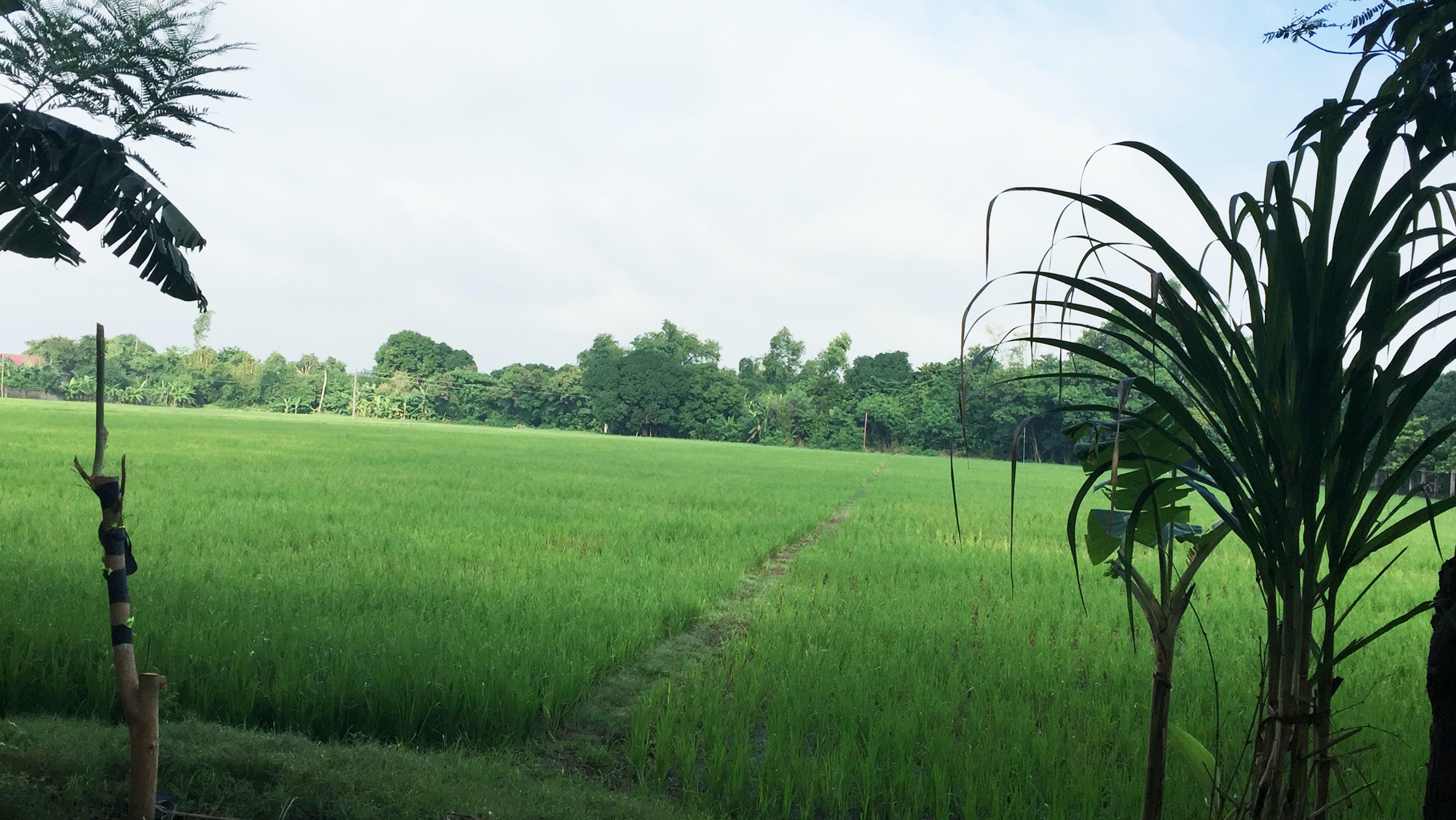 Free stock photo of farm, farming, pangasinan, Philippines