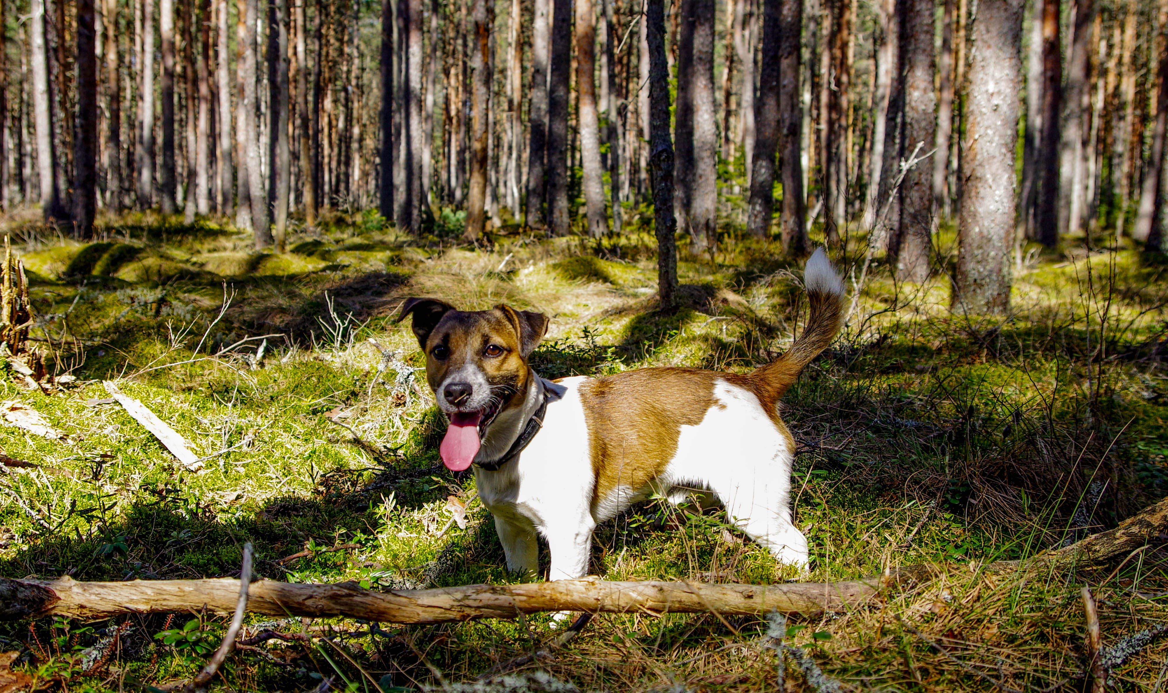 Adult Tan and White Jack Russell Terrier