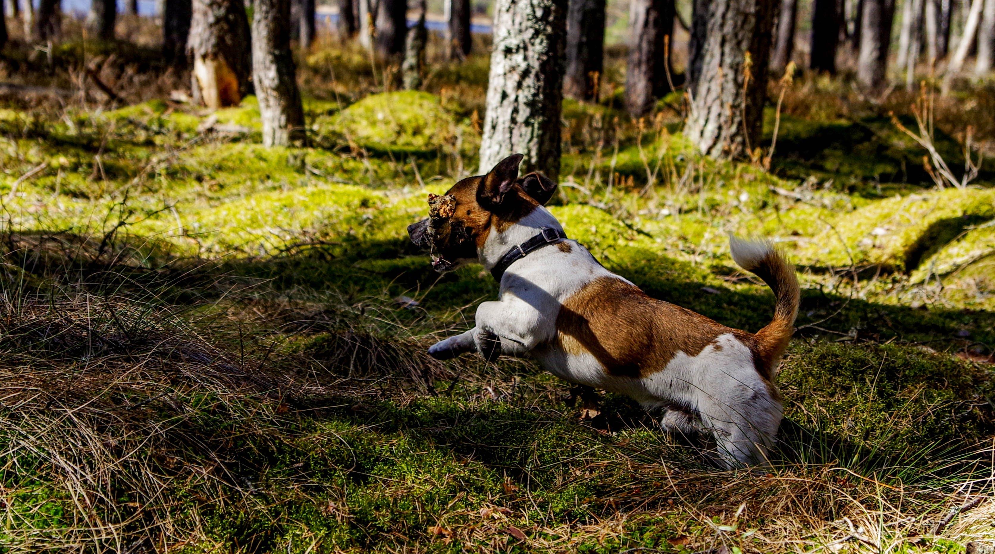 Medium Short-coated Tan and White Dog