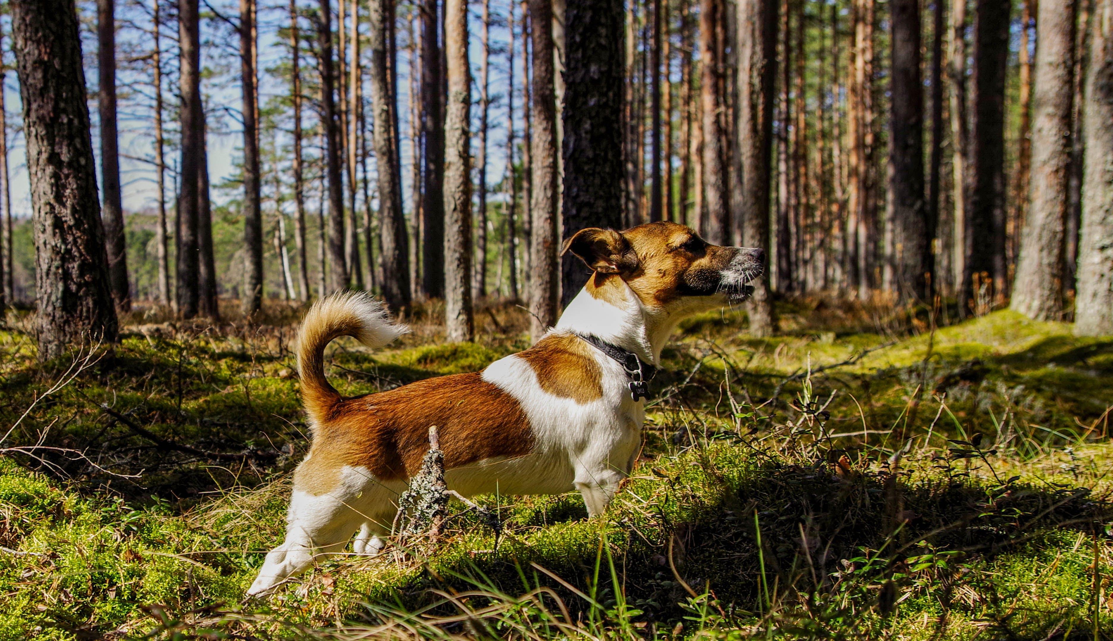 Medium Short-coated Tan and White Dog on Focus Photo