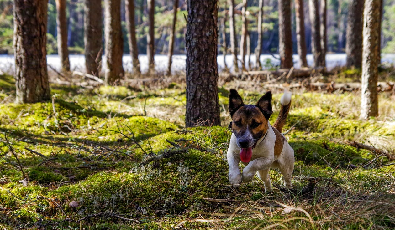 Adult Jack Russell Terrier Running on the Green Grass Field