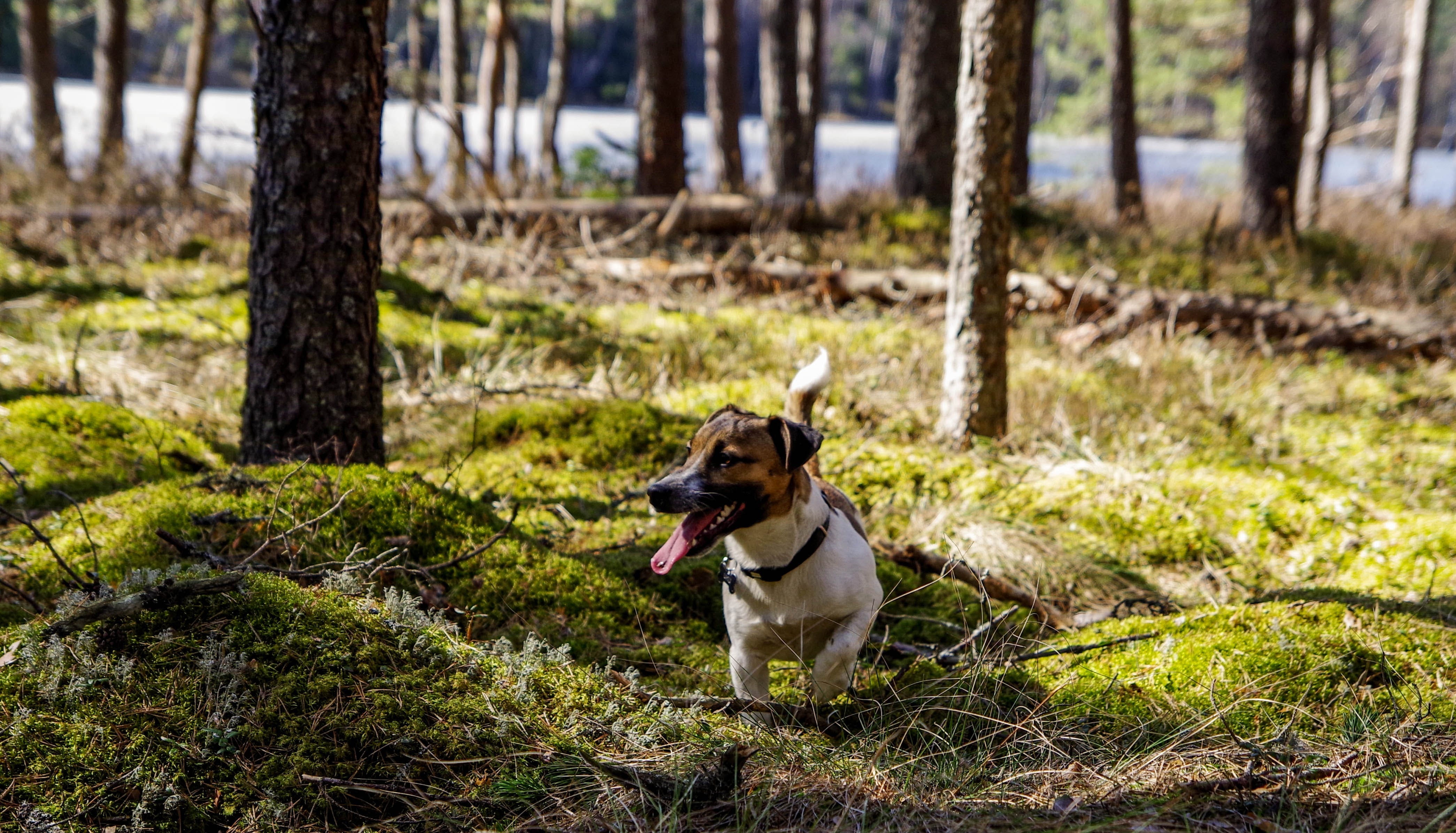 Photo of Tan and White Terrier on Woods