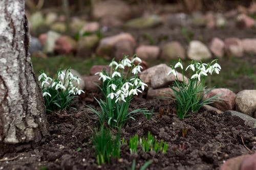 Ingyenes stockfotó anyatermészet, fehér virág, kert, kerti virág témában