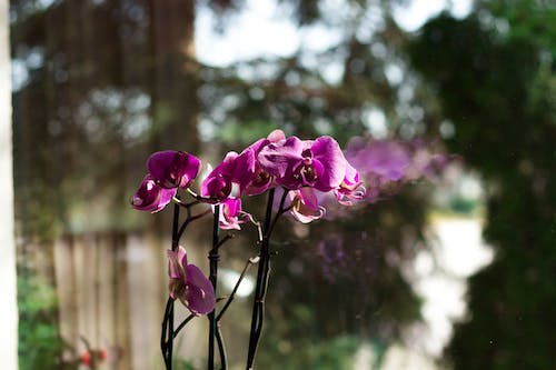 Free stock photo of flower, glass window, lilac orchid