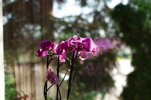 Free stock photo of flower, glass window, lilac orchid, nature
