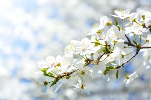 Бесплатное стоковое фото с белый, весна, ветви, выборочный фокус