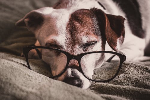 White and Brown Dachshund With Black Framed Eyeglasses