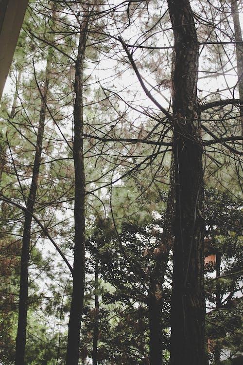ihličnan, ihličnatý strom, kôra