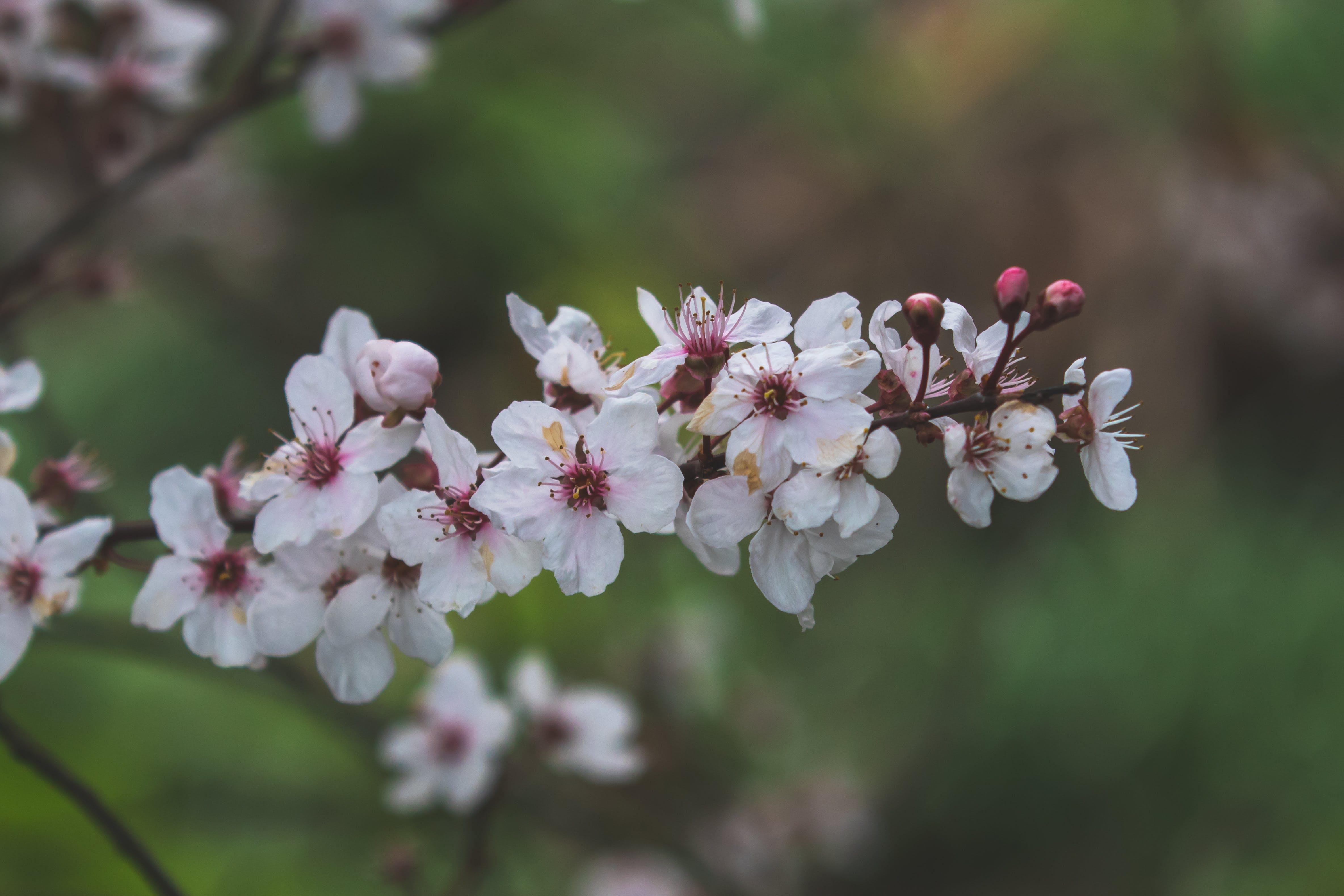 Foto profissional grátis de #flor, aumento, baseado, cereja