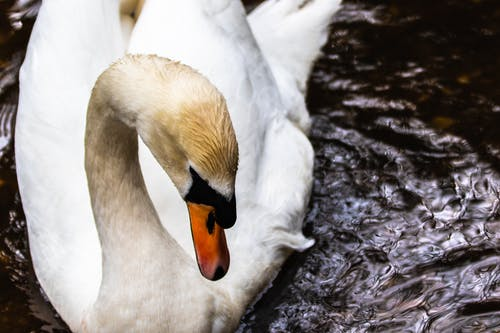 Free stock photo of #bird, #swan, #wildlife