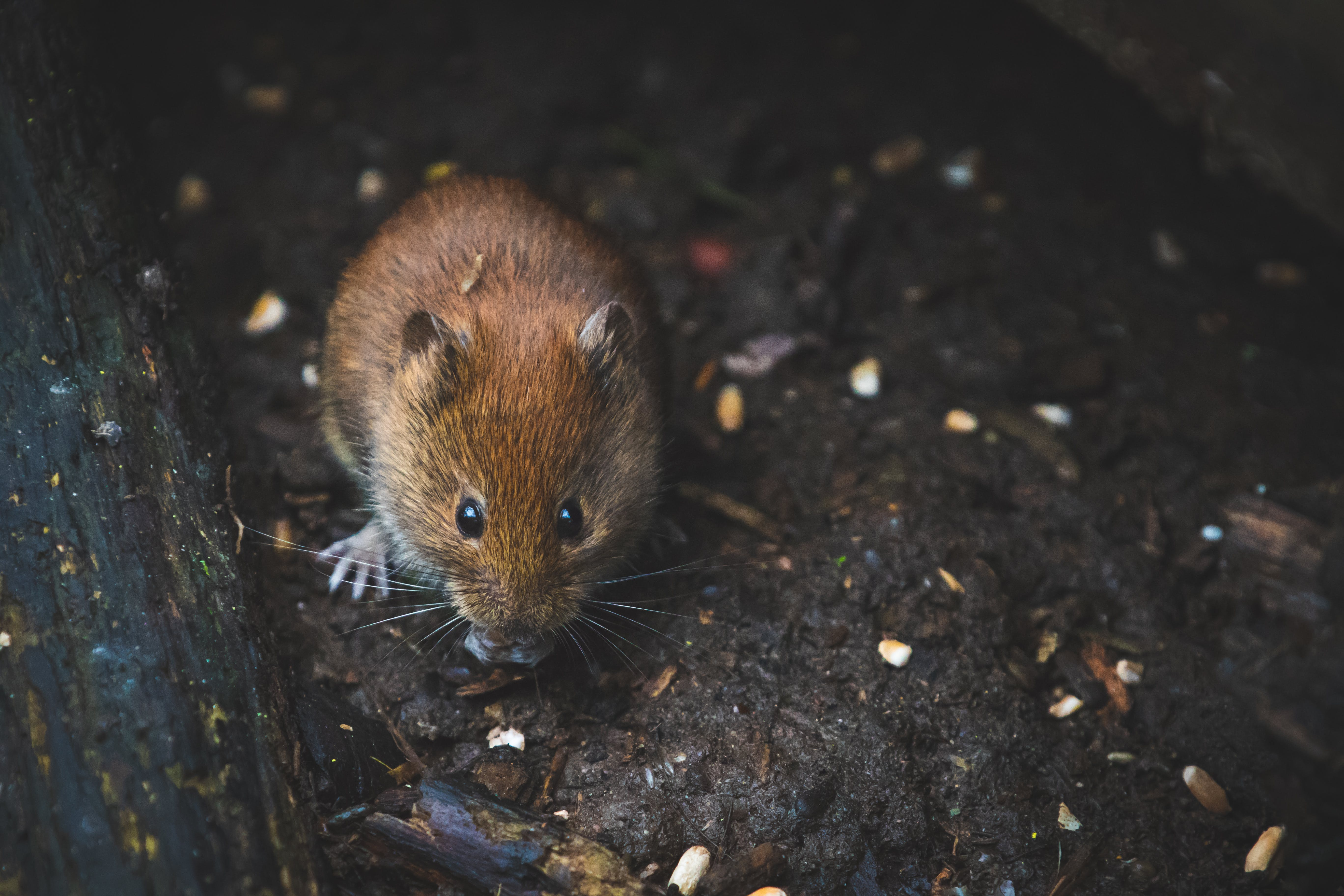 Close Up Photography of Brown Mouse