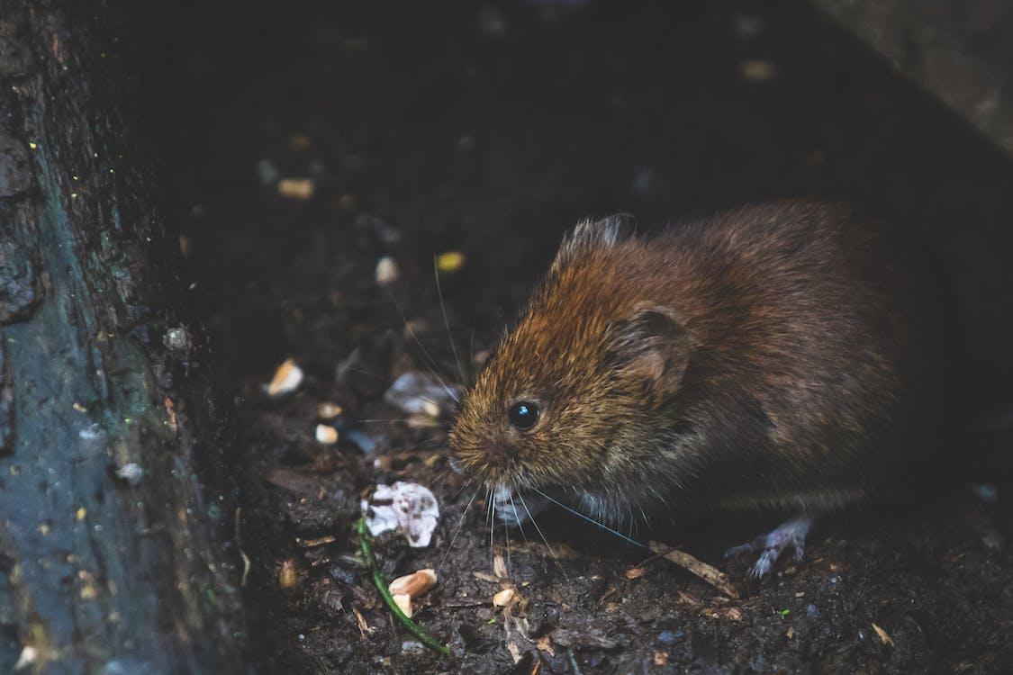 Closeup Photo of Tan Rat