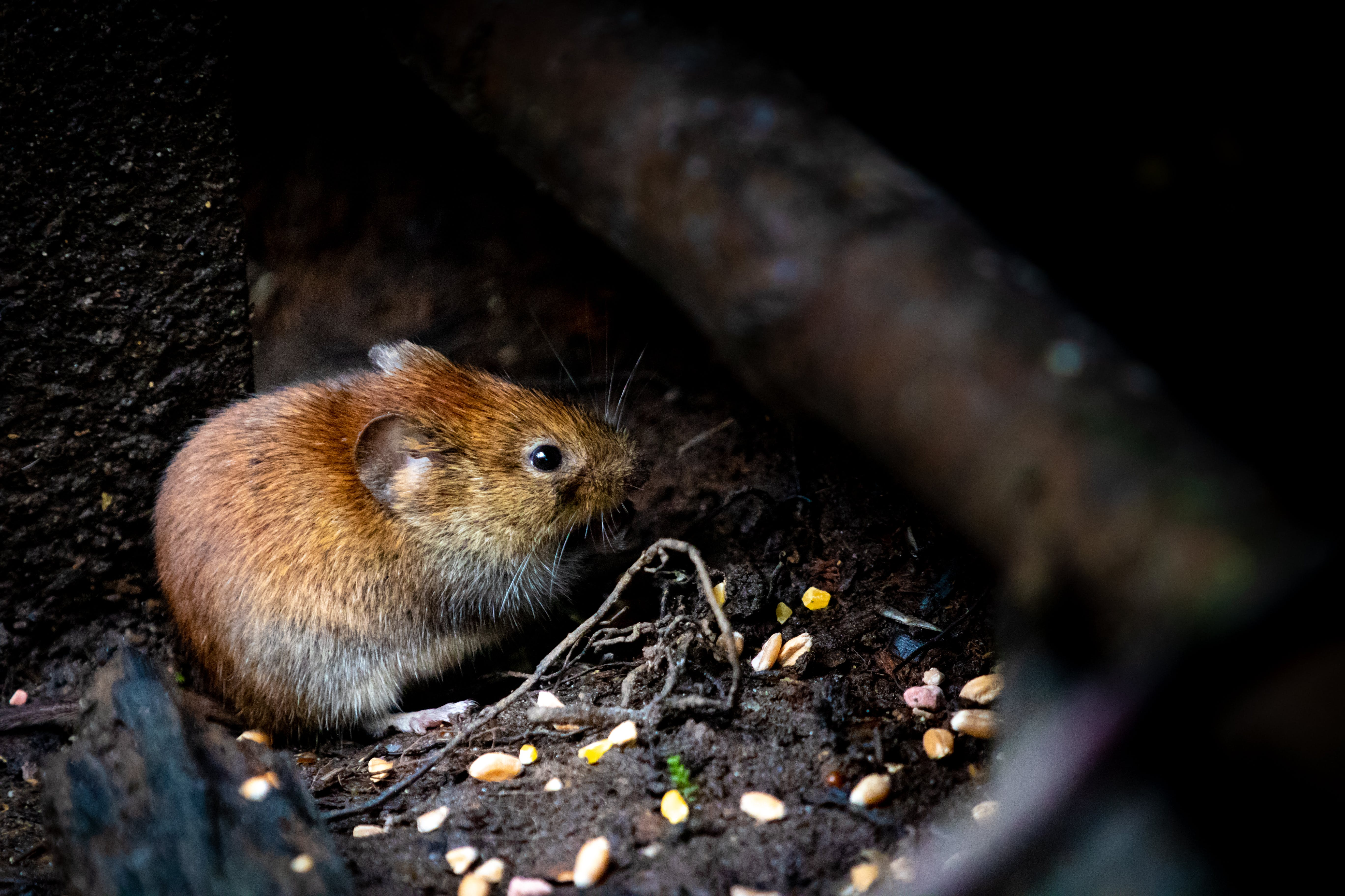 Selective Focus Photography of Brown Rodent