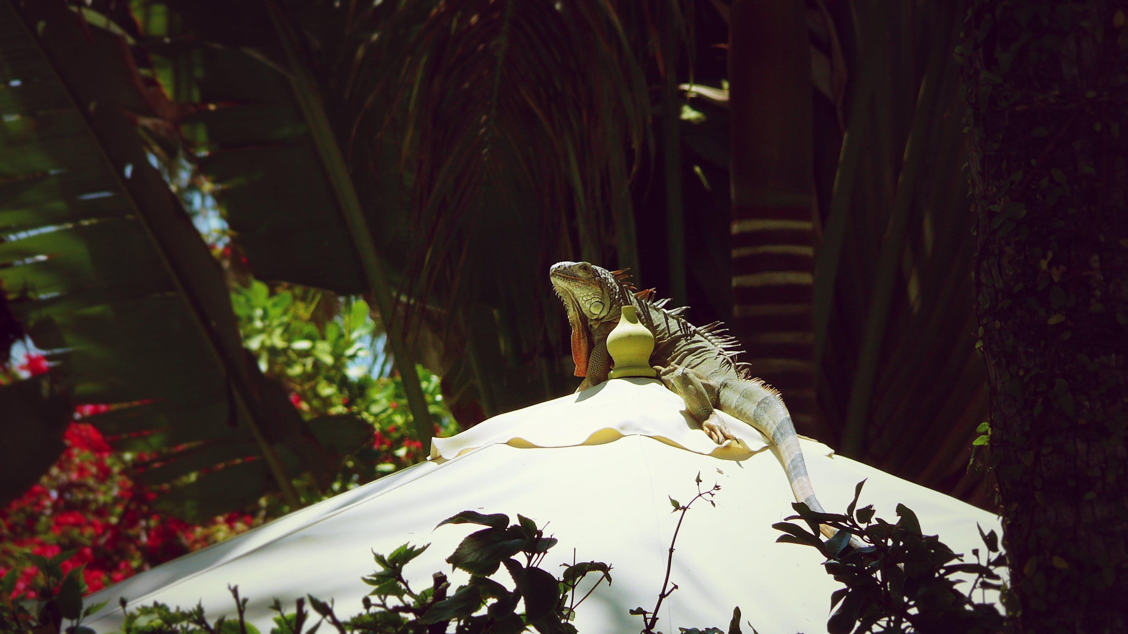 이구아나의 무료 스톡 사진