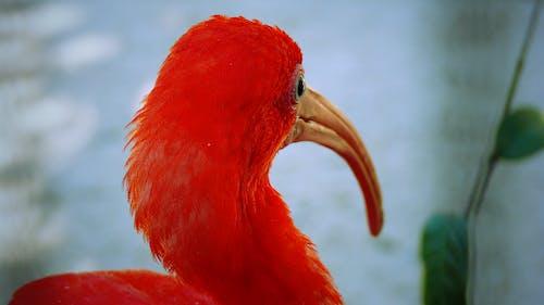 Gratis lagerfoto af bird redbird