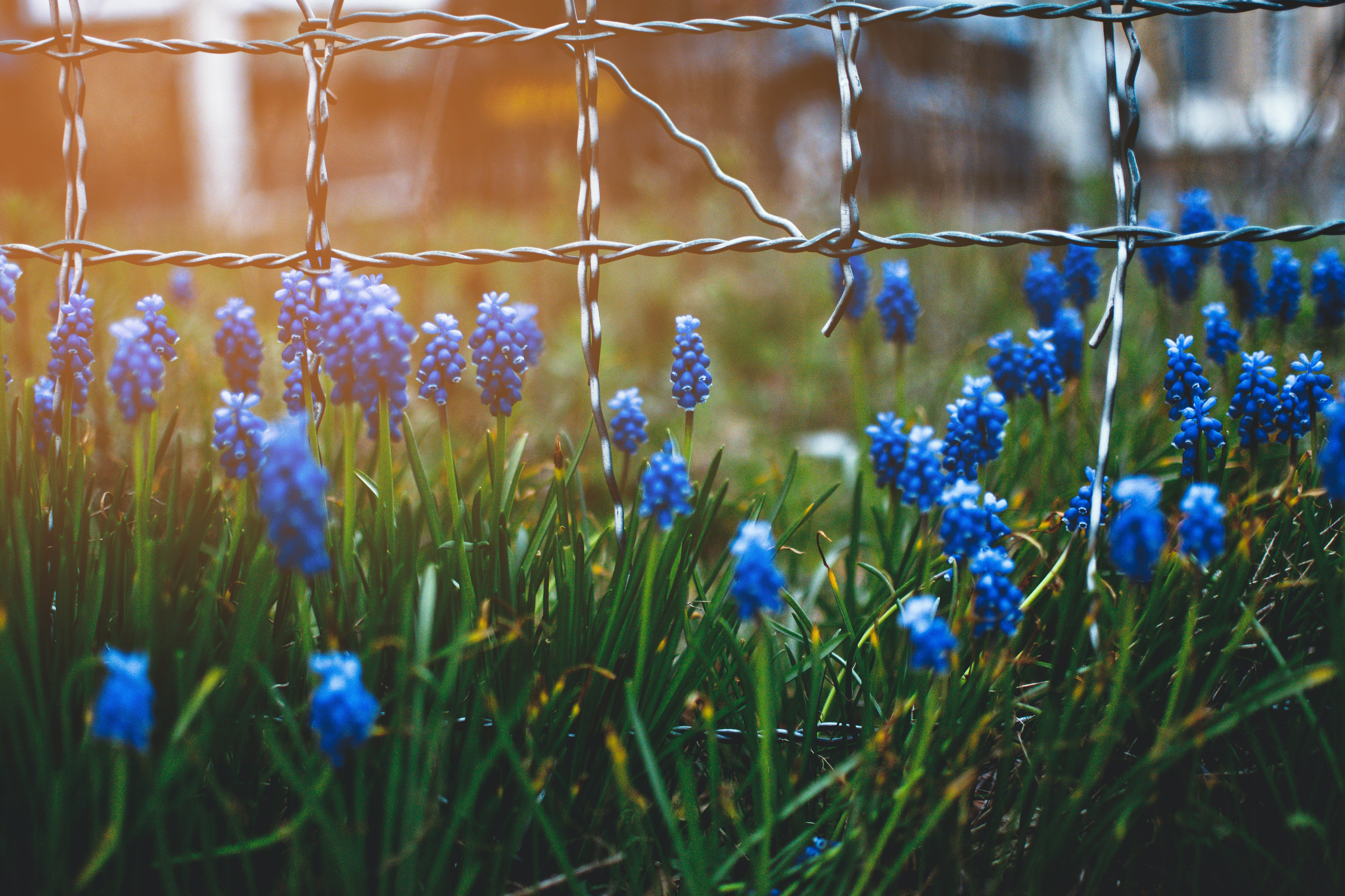Blue Flowers on Bloom Beside Gray Fence Closeup Photo