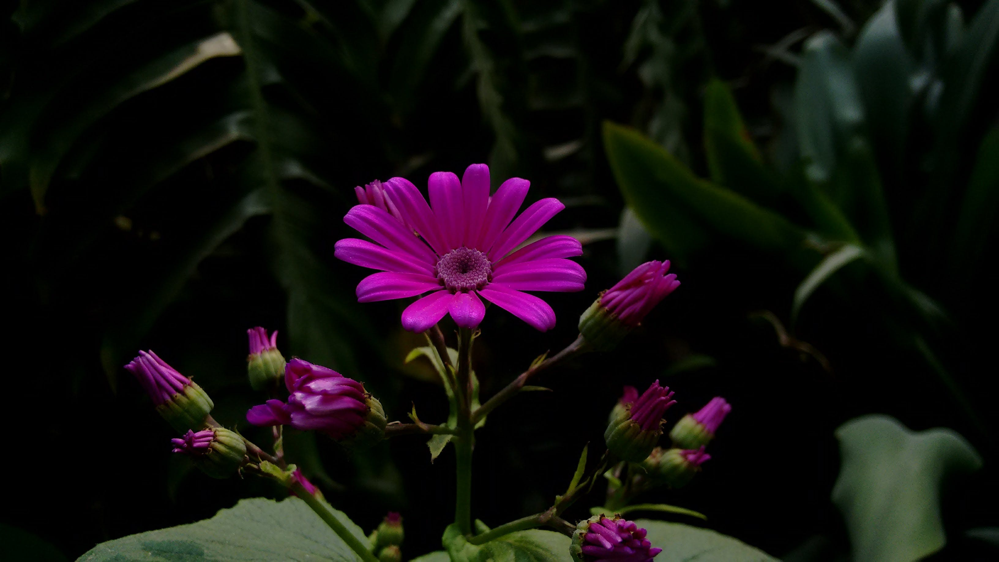 Photo of Purple Gerbera Daisy Flowers