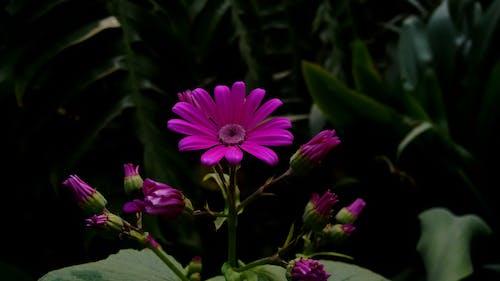 Kostnadsfri bild av blomknoppar, blommig, blommor, blomning