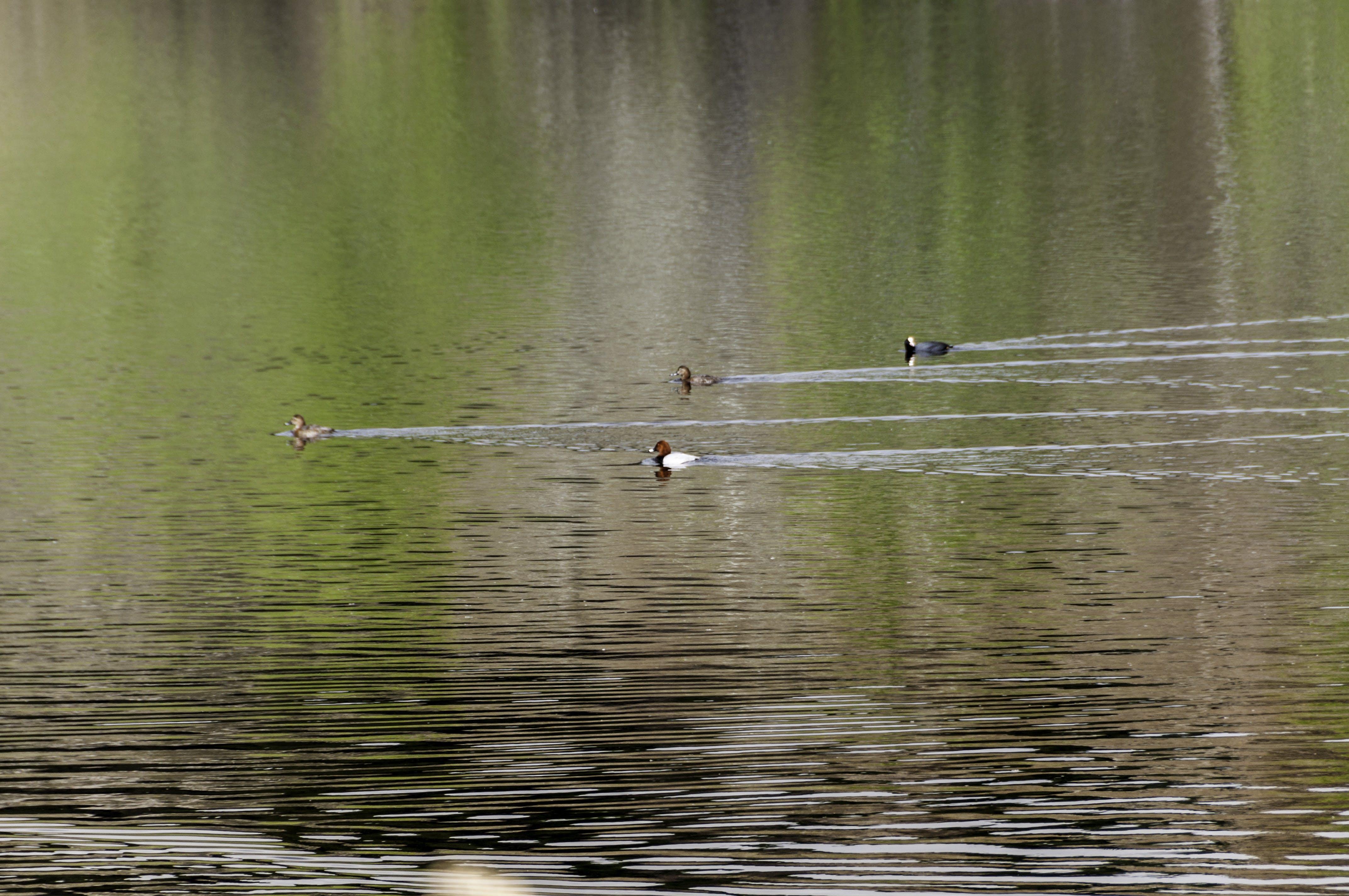 Free stock photo of duck bath