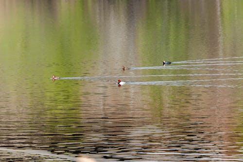 ördek banyosu içeren Ücretsiz stok fotoğraf