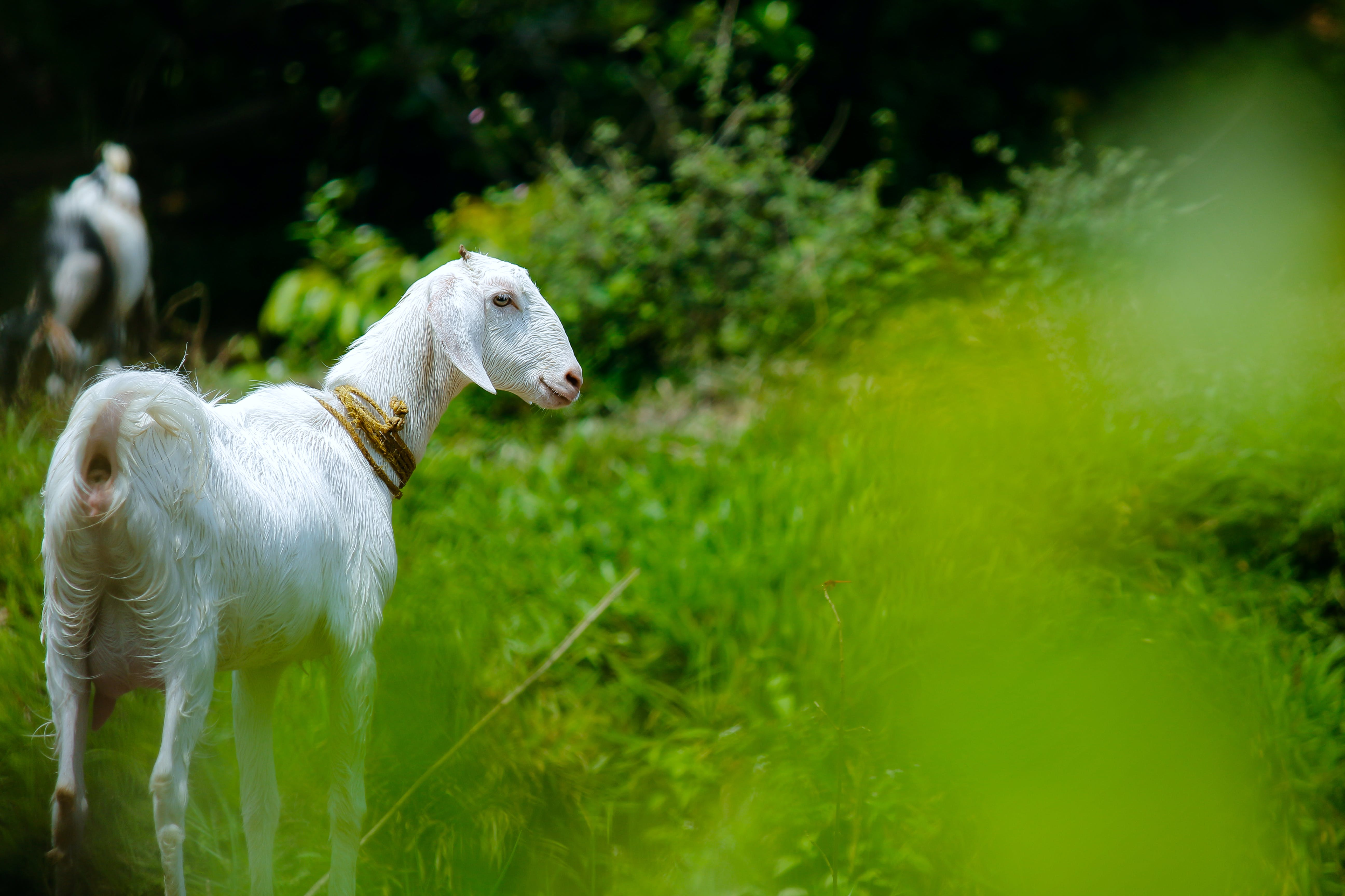 White Goat in Grass Field