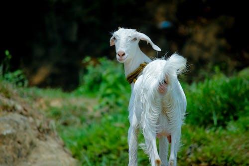 Kostnadsfri bild av bete, boskap, däggdjur, djur
