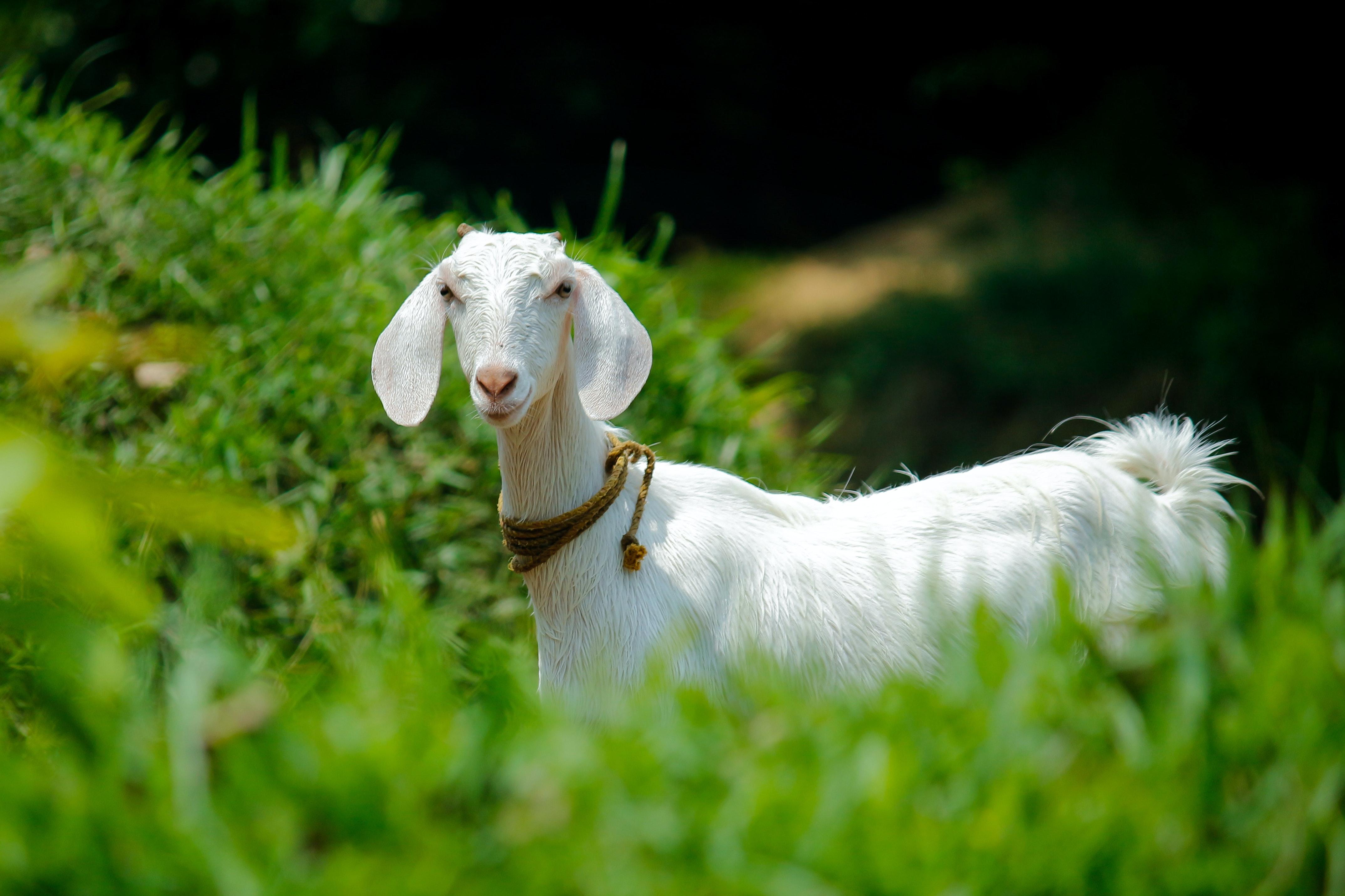 White Goat Eating Grass During Daytime  U00b7 Free Stock Photo