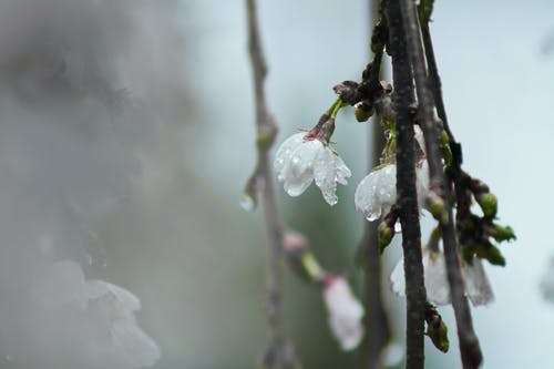 White Tree Blossoms With Dew in Closeup Photo