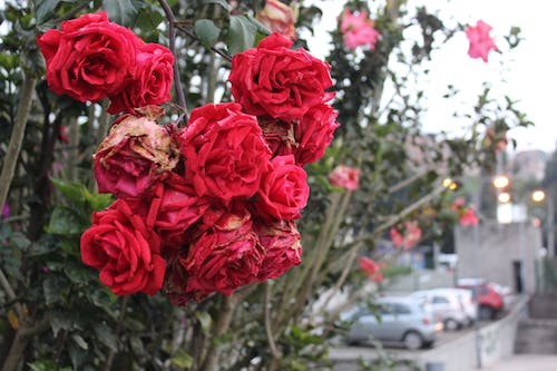 Free stock photo of flores, flower, flowers, red roses