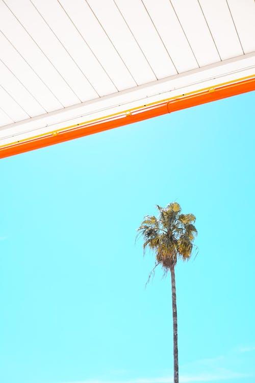 คลังภาพถ่ายฟรี ของ กลางวัน, การเจริญเติบโต, ต้นปาล์ม, ต้นไม้