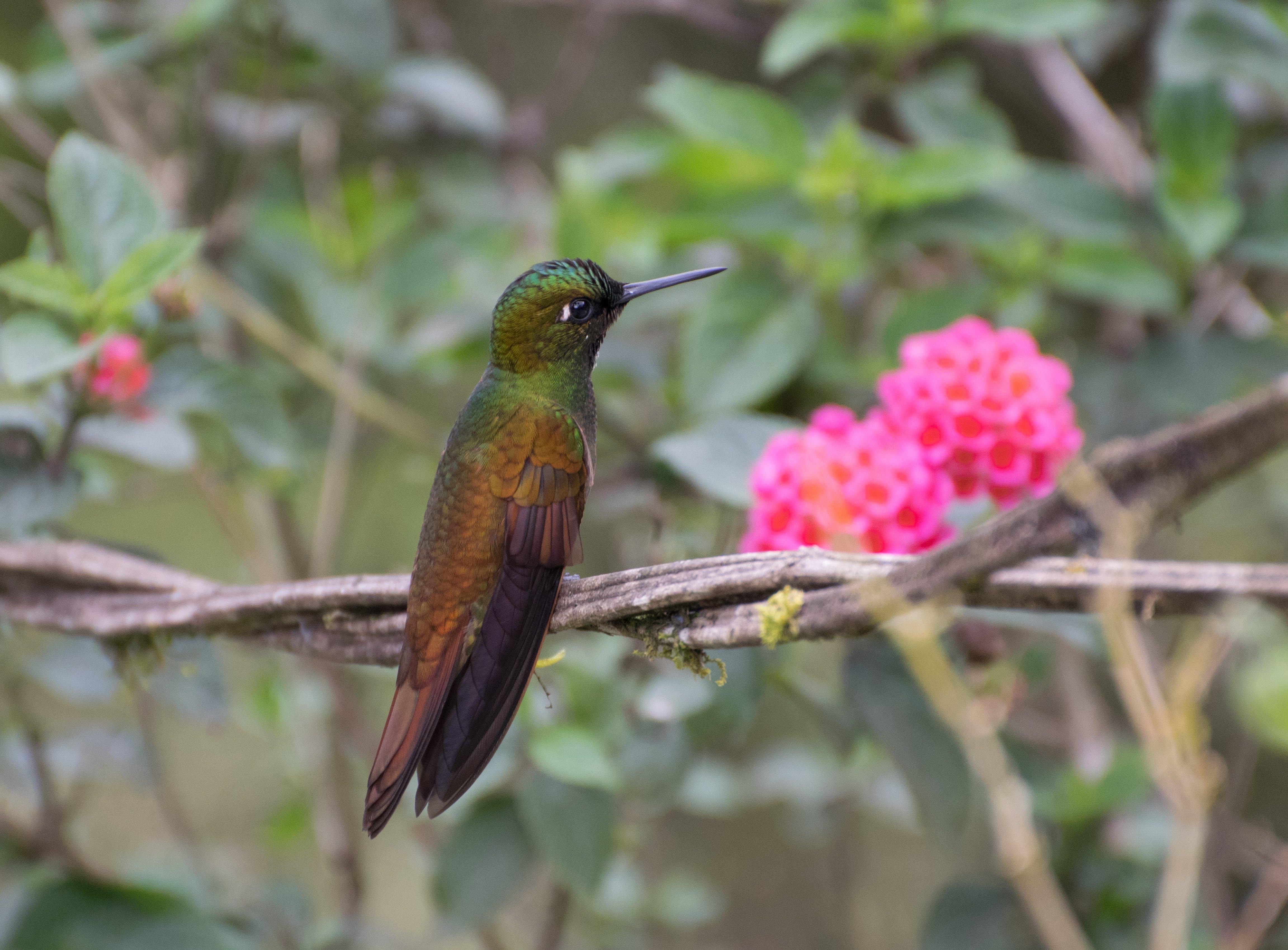 Free stock photo of bird, hummingbird, wild animal, wild bird
