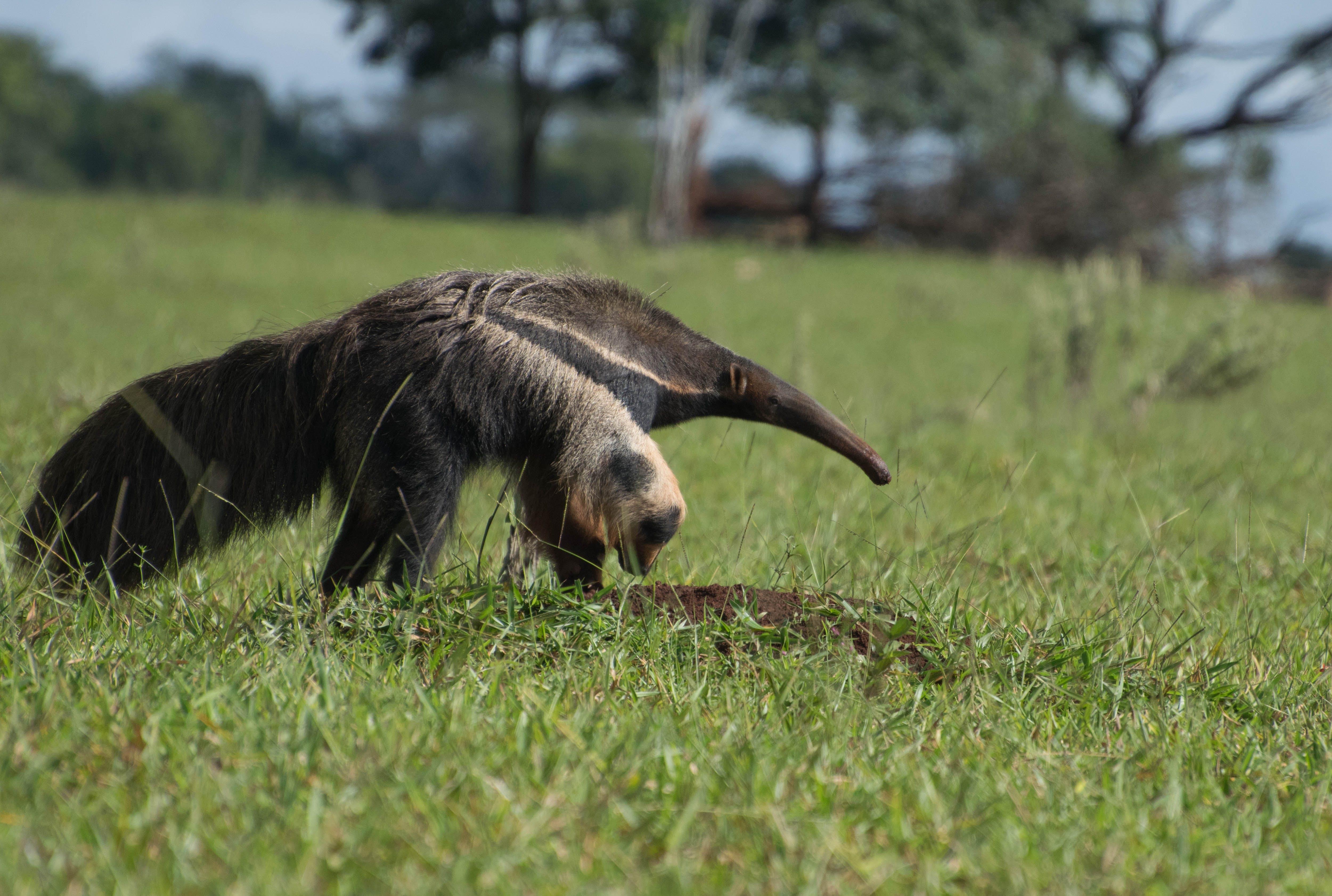 Free stock photo of animal, giant anteater, tamandua, tamanduá bandeira