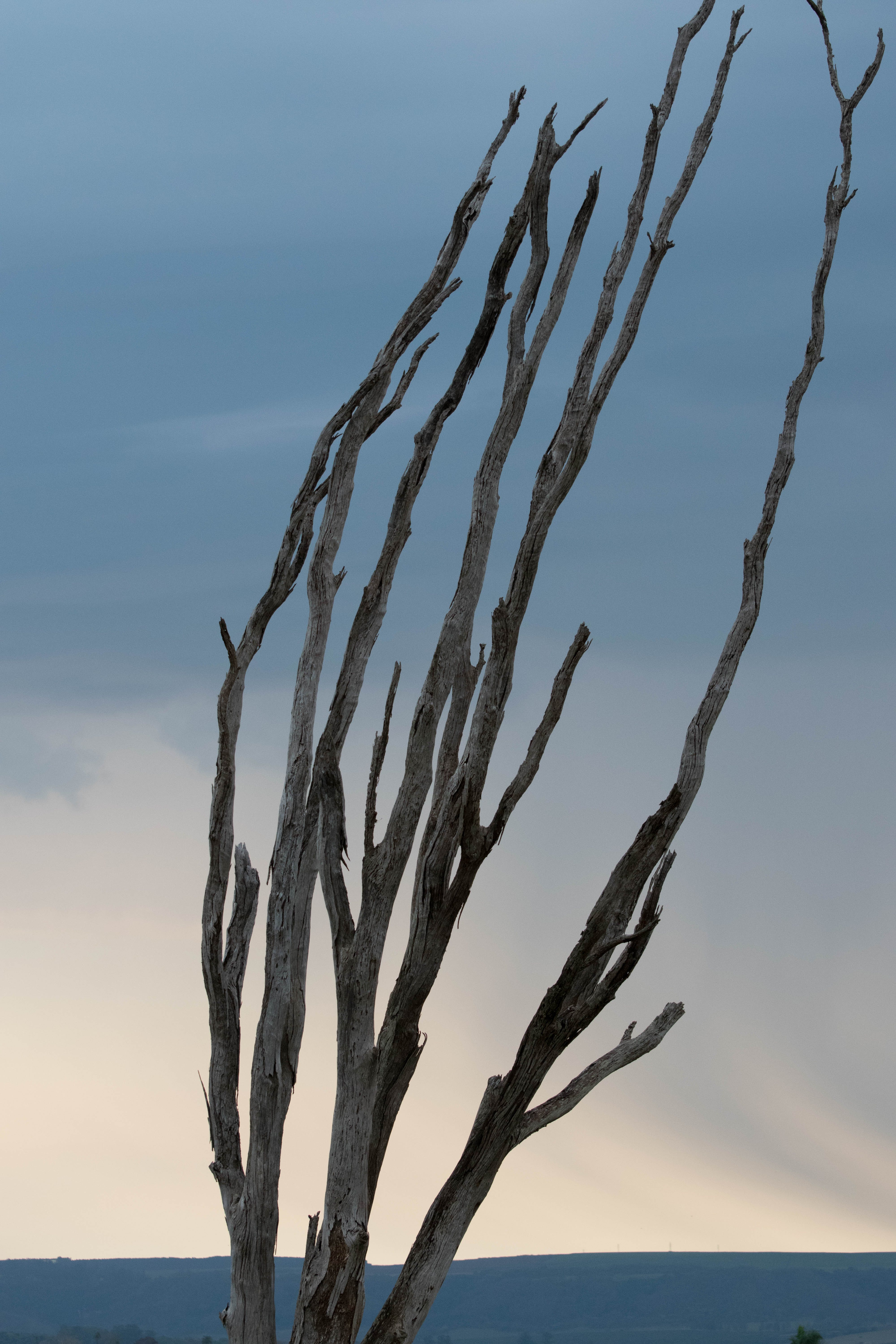 Free stock photo of branches, dead branches, dead tree, sunset