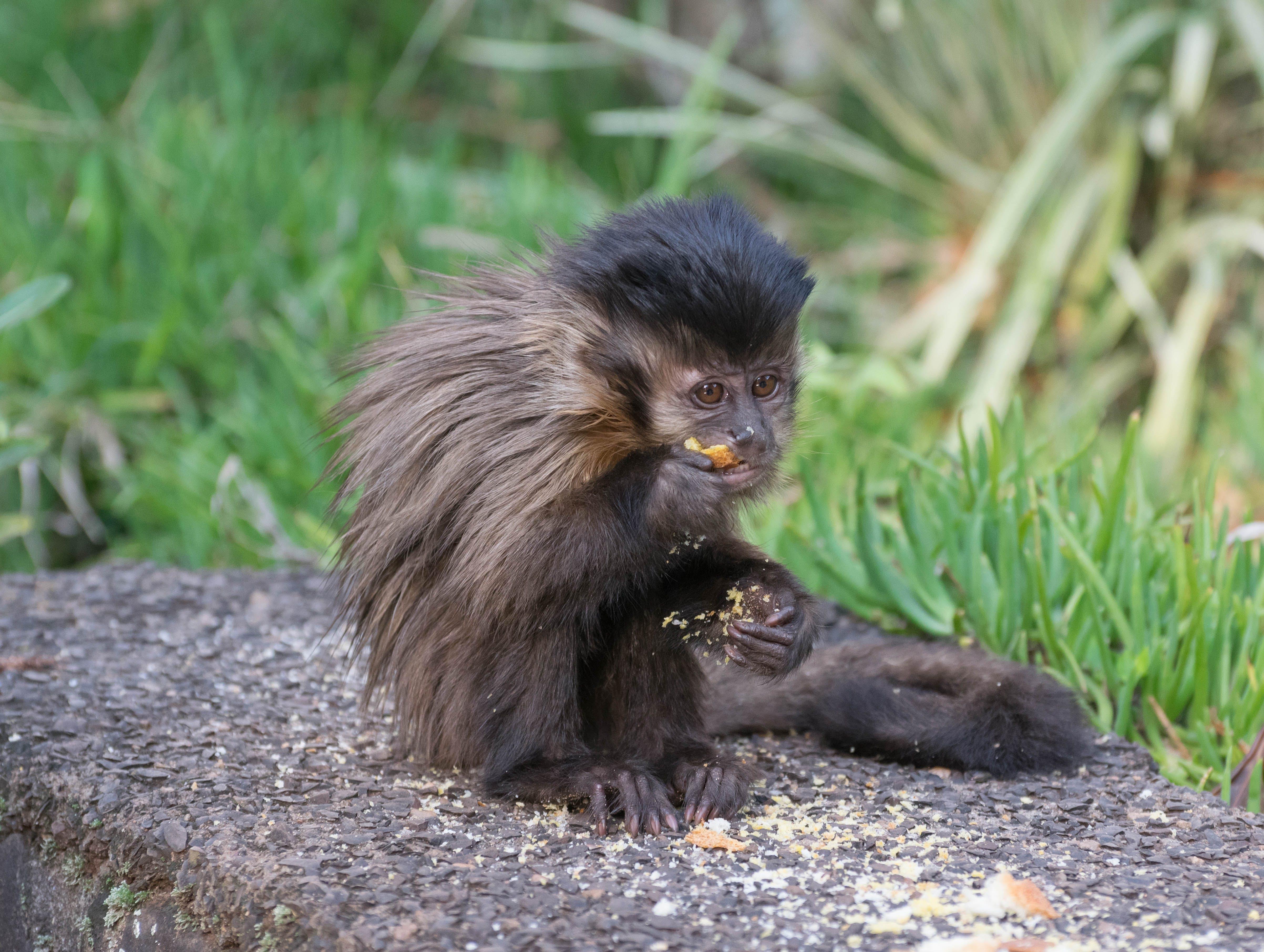 Free stock photo of baby monkey, eating, monkey, wild animal