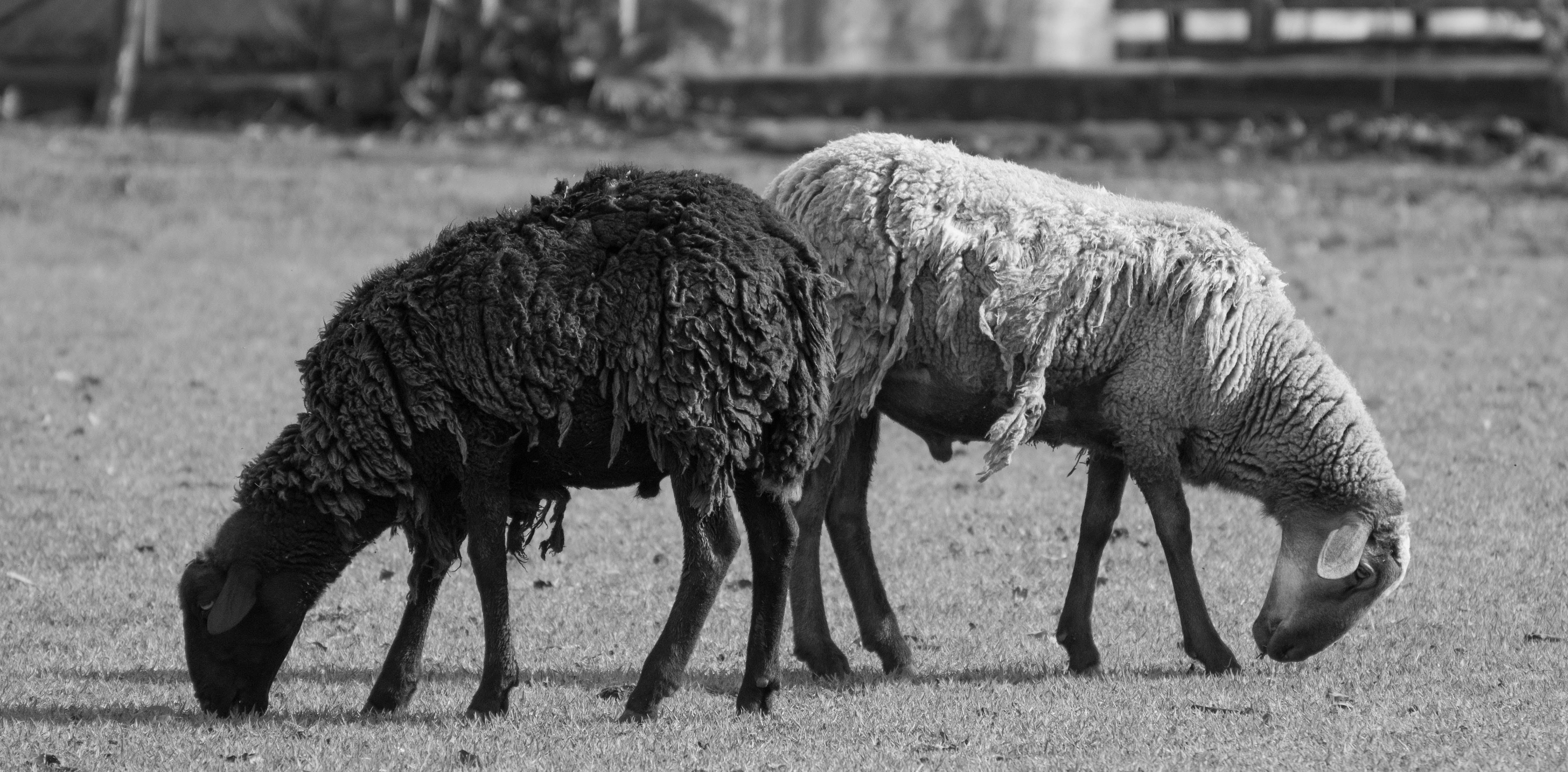Free stock photo of black and white, black and-white, black sheep, farm animal