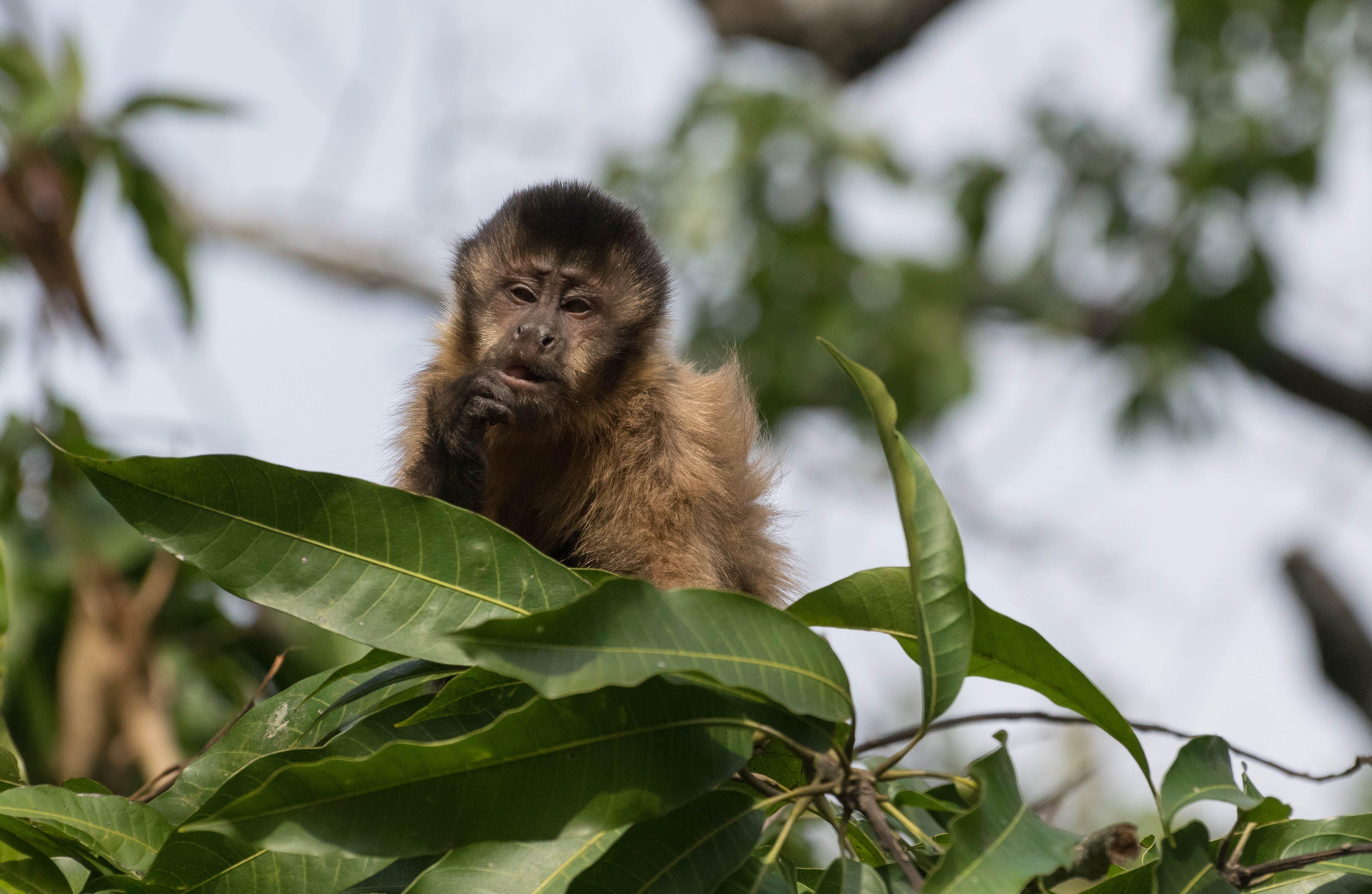 Free stock photo of macaco, monkey, Pensando, pensativo