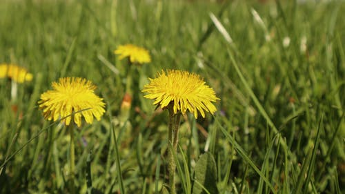 Free stock photo of dandelion, flower, meadow, nature