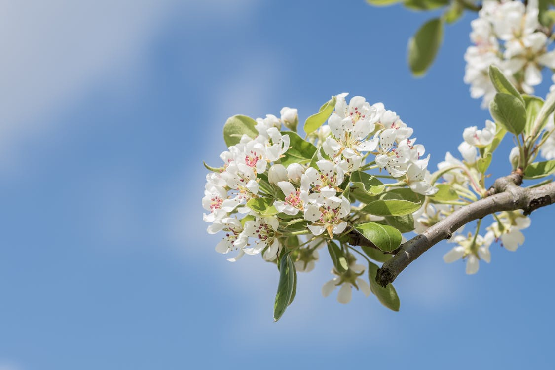 Close-Up Photography Apple Blossoms