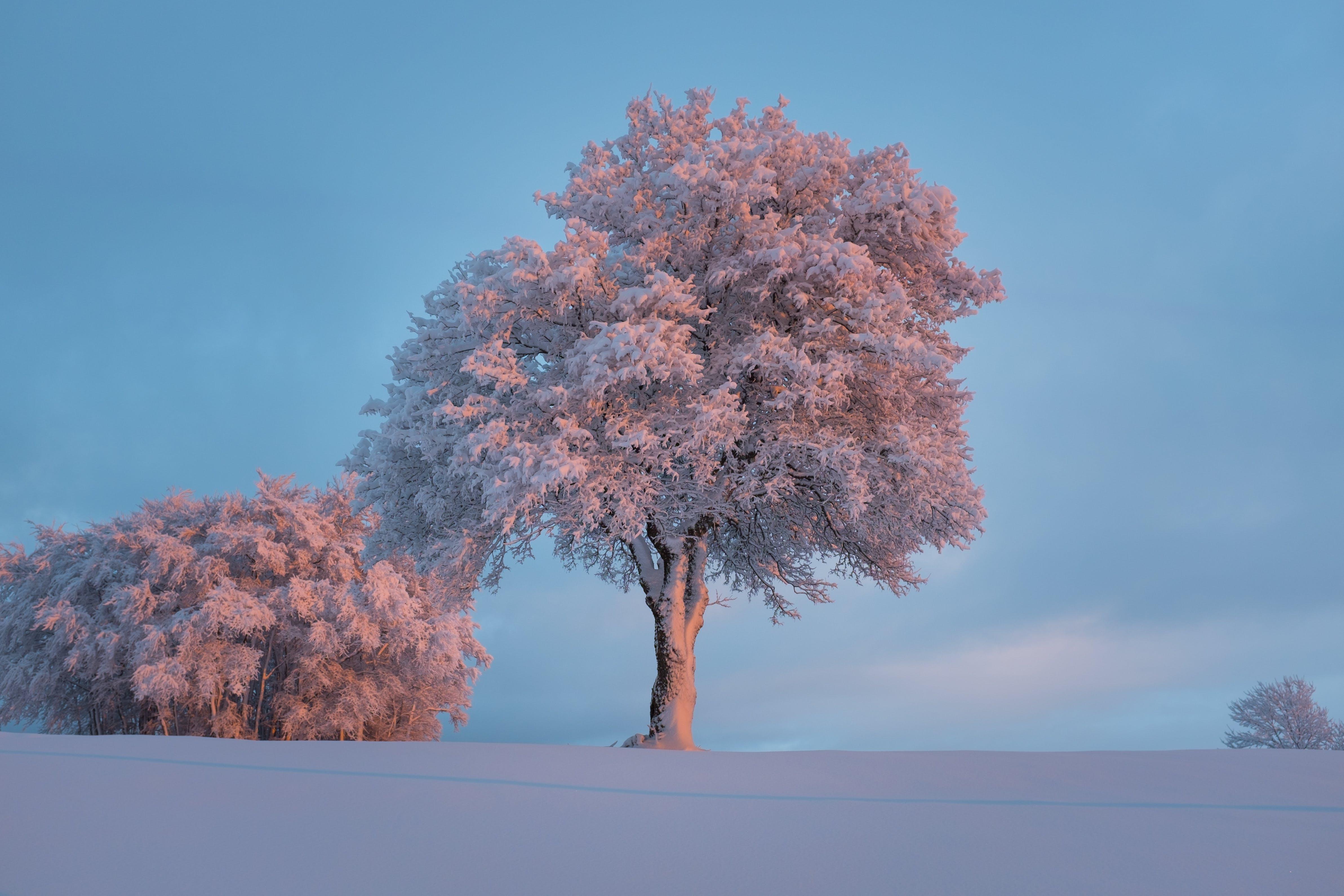 Pink Leaved Tree during Daytime