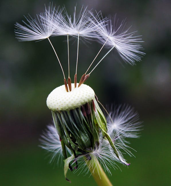 Close Up Photography Of White Dandelion Seed 183 Free Stock Photo