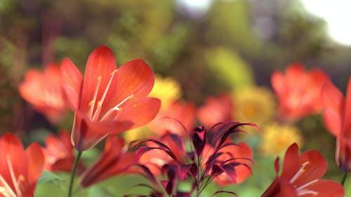 天性, 性質, 漂亮, 紅色的花朵 的 免费素材图片