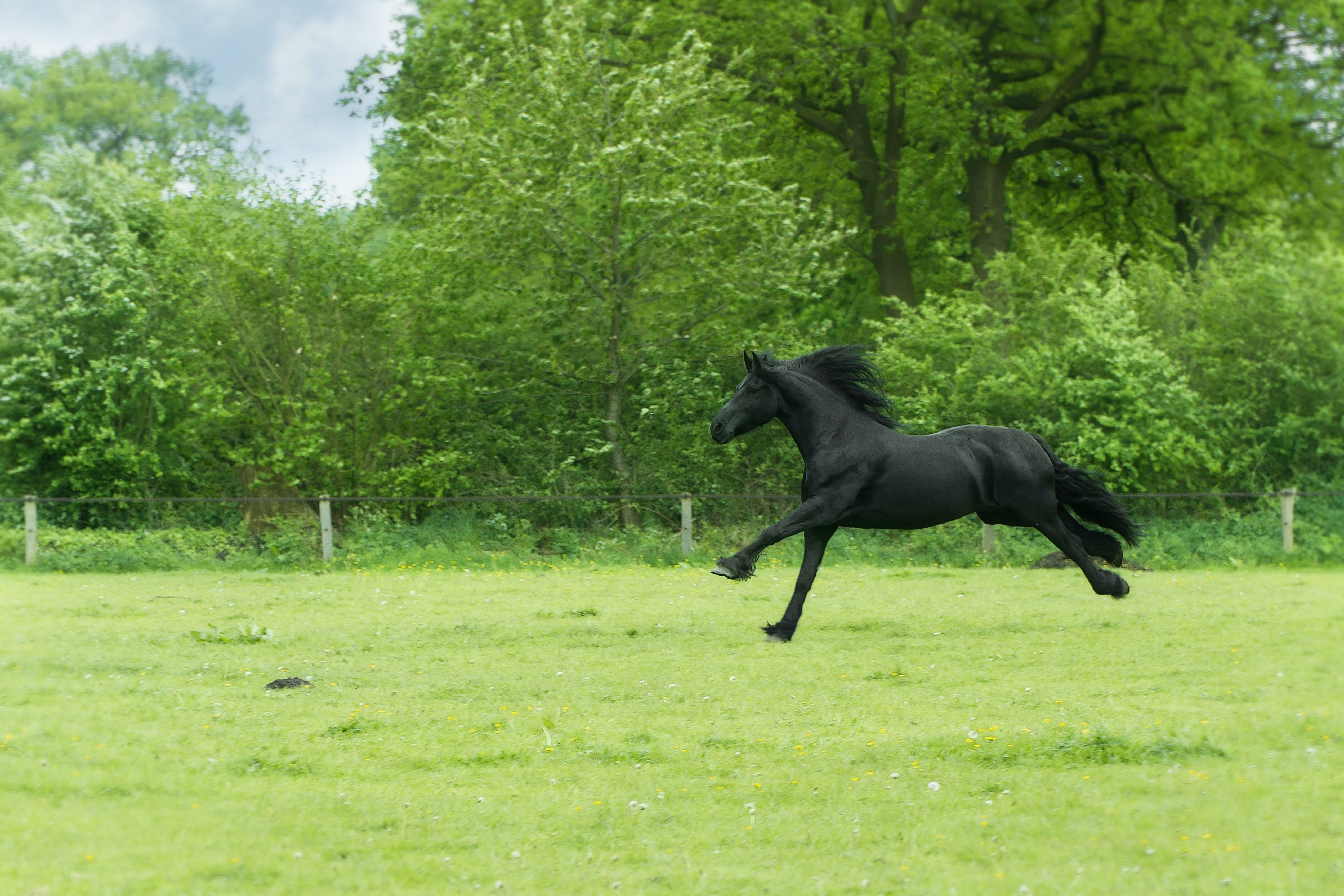 Black Horse Running on Green Field Surrounded With Trees